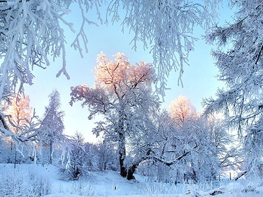 Winter dawning, blue sky, cold, morning, snow covered trees, sun on trees, white, winter